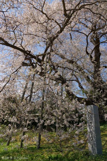 戸津辺の桜