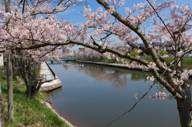 両総用水の桜並木