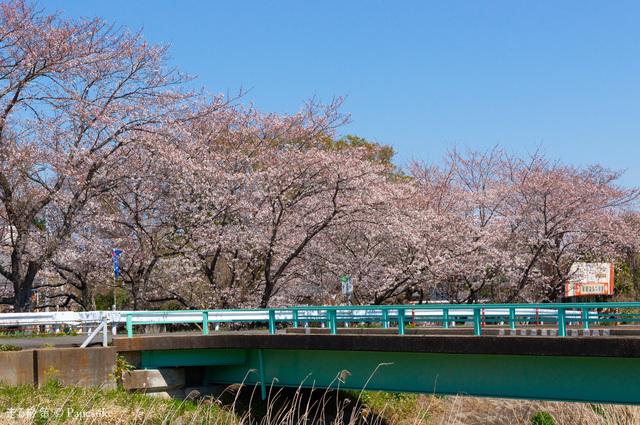 東仁連川桜並木